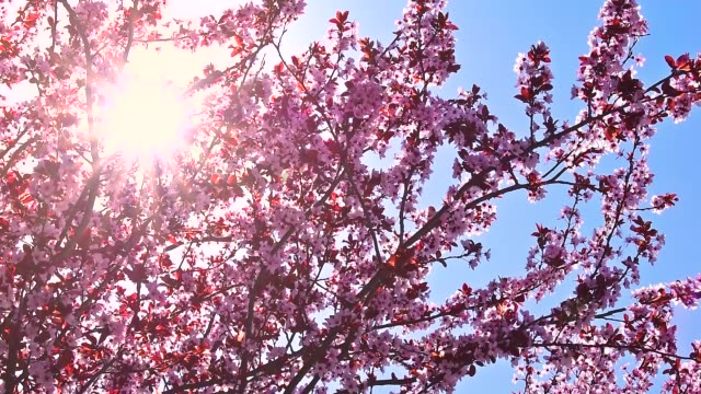 Blossoming fruit tree in spring breeze with sunshine. Blossoming fruit tree in spring breeze. The bright day among the branches. Against the background of blue clear sky. hungary stock videos & royalty-free footage