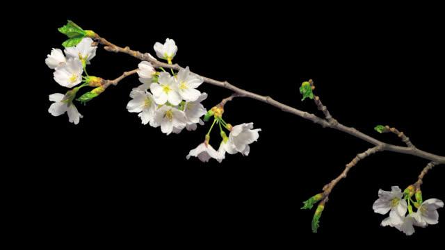 blommande japansk körsbär sakura, time-lapse med alfa kanal - gren plantdel bildbanksvideor och videomaterial från bakom kulisserna