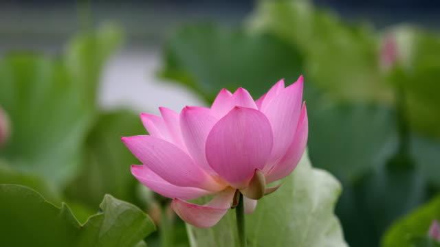 vídeos de stock, filmes e b-roll de flor lótus balançar com o vento - lotus