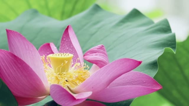 Blossoming lotus sway with the wind