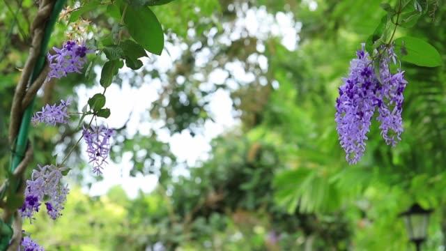Цветущая лиана петреа раскачиваетна ветру своими красивыми цветами