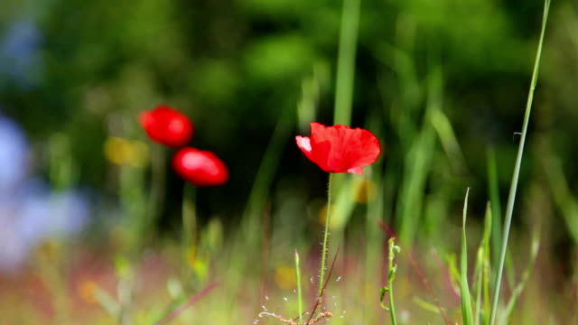 blossoming red poppy shakes