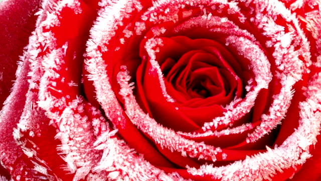blossoming red rose with hoarfrost, timelapse footage - иней замёрзшая вода стоковые видео и кадры b-roll