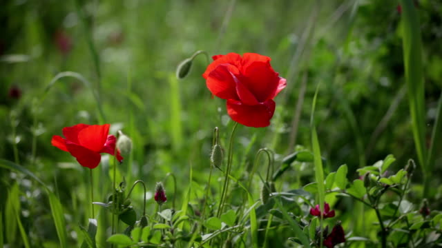 Blossoming scarlet poppies