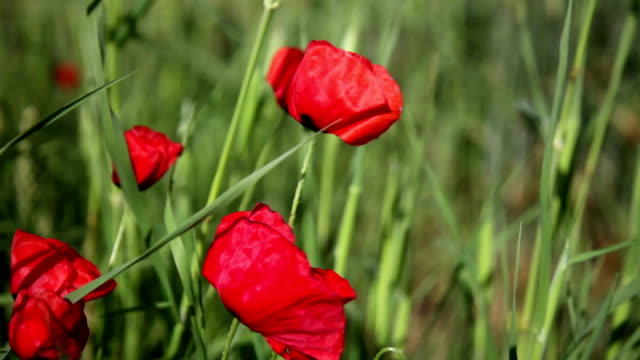 Blossoming scarlet poppies wave