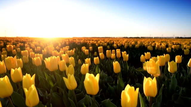 Blossoming yellow tulips gently shaking in the wind during a beautiful spring evening