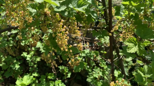 blossoms on a currant bush - ribes rosso video stock e b–roll