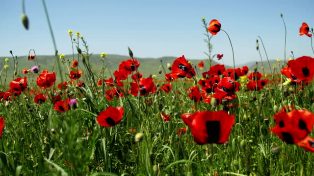 Blossoms Red Poppies in the Field Swaying in the Wind on Background of Mountains video