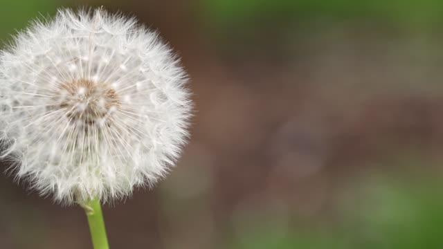 blowing a puffball, in nature