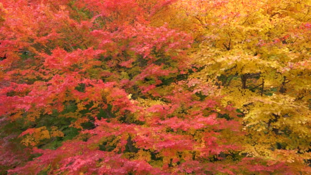 blowing autumn leaves - maple leaf stock videos & royalty-free footage