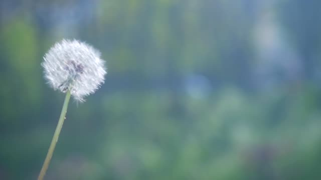 Blowing dandelion seeds. Flying dandelion seeds on green bright background.