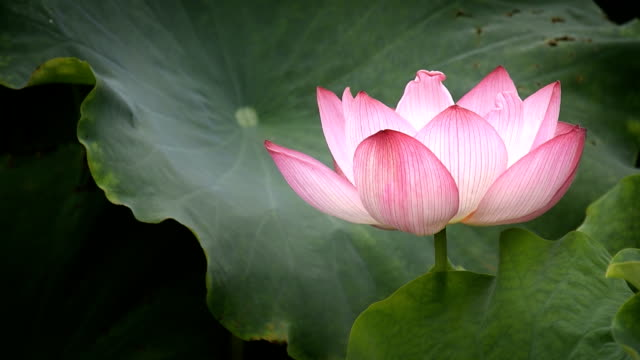 Blowing Lotus flower in the wind HD Video video