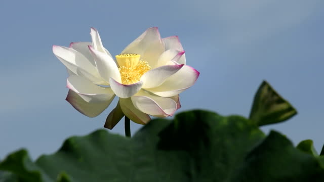 blowing lotus flower in the wind hd video - stame video stock e b–roll