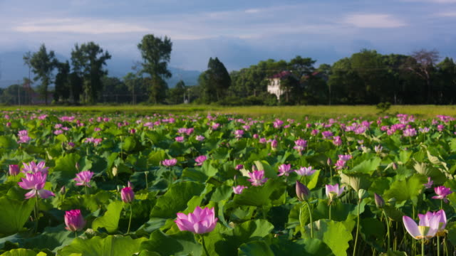 Blowing Lotus flowers in the pond 4K