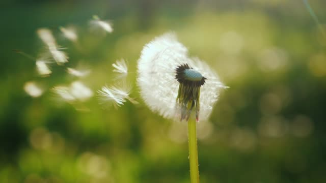 Blowing on a dandelion flower, close-up. Slow motion video