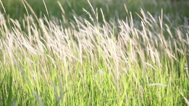 geschäumte weiße blume gras im feld - rohrblattinstrument stock-videos und b-roll-filmmaterial