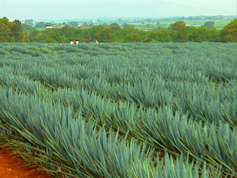 blue agave field 01 video