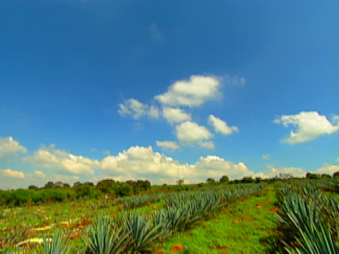 blue agave field 02 video