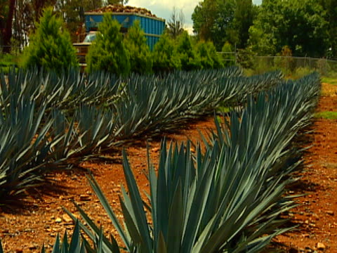 blue agave field 03 video