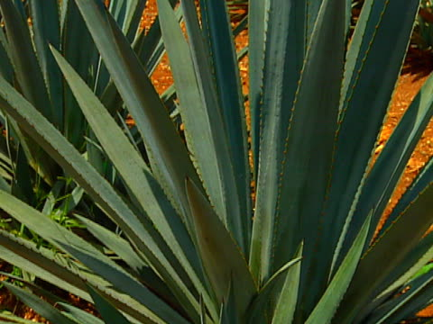 blue agave field 04 video