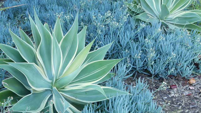 Blue agave leaves, succulent gardening in California USA. Home garden design, yucca century plant or aloe. Natural botanical ornamental mexican houseplants, arid desert floriculture. Calm atmosphere.