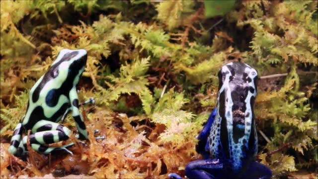 Blue and green poison dart frogs video