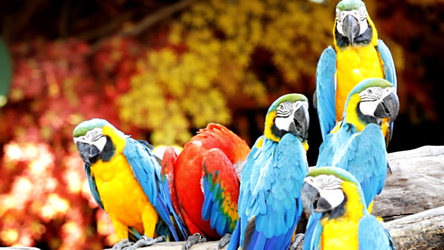 Blue and red macaw video