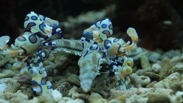 Blue and white Harlequin shrimp video