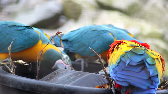 Blue and Yellow Macaw and Scarlet Macaw Playing video