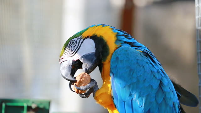 Blue and Yellow Macaw Eating Walnut video