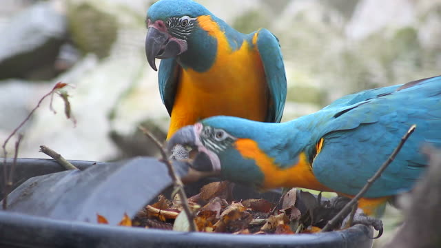 Blue and Yellow Macaw Playing video