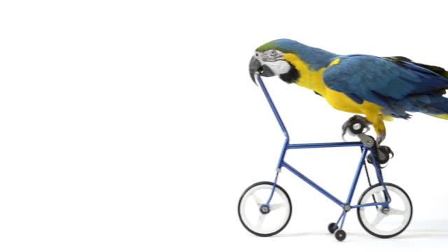 blue and yellow macaw riding a bike - circus stok videoları ve detay görüntü çekimi