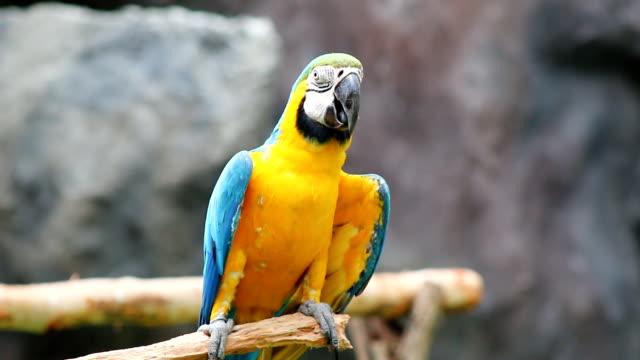 Blue and yellow Macaw (Ara ararauna) video