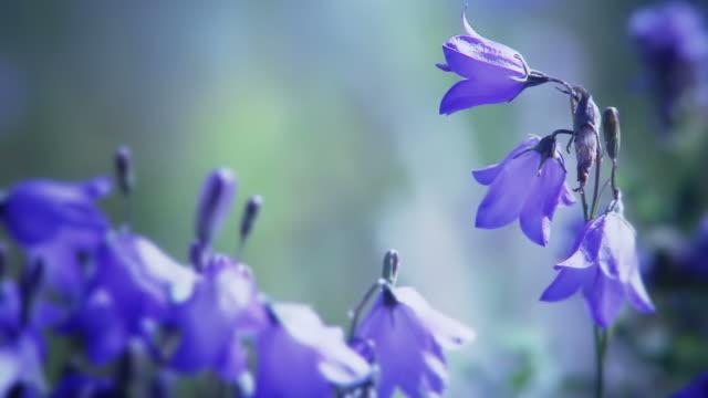 Blue Bells video