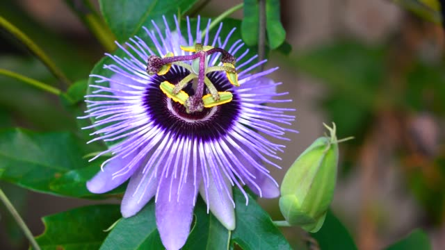 blue boquet passion flower close-up - passiflora video stock e b–roll