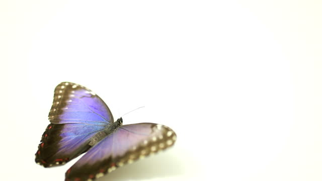 Blue Butterfly flying away on white background video