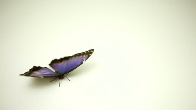 Blue Butterfly flying away video