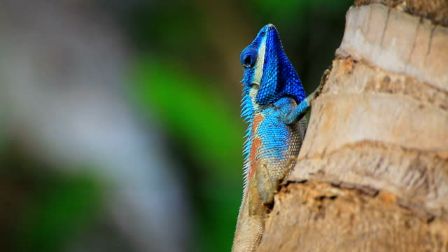Blue chameleon on coconut tree. Blue chameleon on coconut tree. reptile stock videos & royalty-free footage