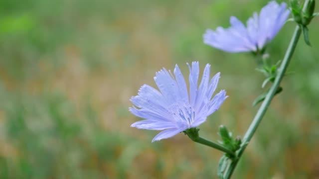Blue Cichorium Flower in Field