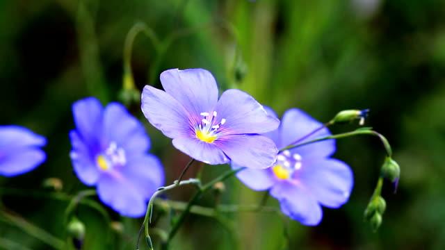 coreopsis blu. - coreopsis lanceolata video stock e b–roll