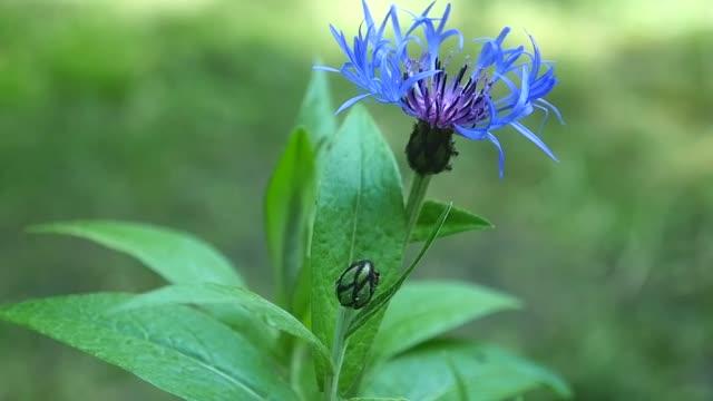 Blue cornflower on a background of grass video