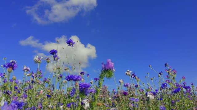 blåklint mot blå himmel med moln - vild blomma bildbanksvideor och videomaterial från bakom kulisserna