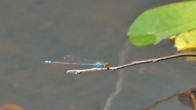 ฺBlue damselfly dragonfly. video