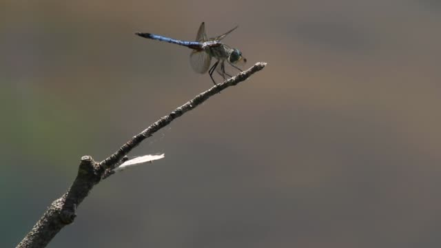 a blue dasher dragonfly on a wooden stick - libellulidae video stock e b–roll