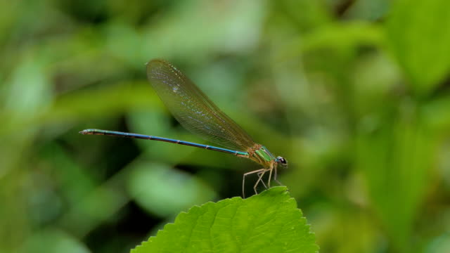 Blue dragonfly on leaf in tropical rain forest. video