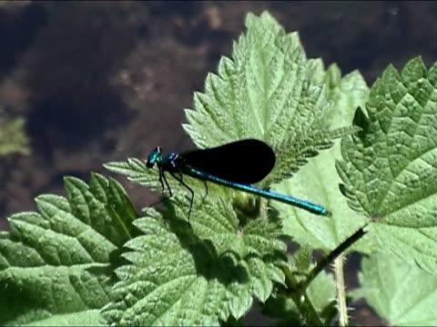 blu libellula  - parte della pianta video stock e b–roll