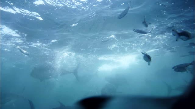 blue fin tuna feeding frenzy of farmed bluefin tuna tuna seafood stock videos & royalty-free footage