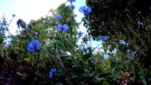 blue flowers waving on the breeze of the wind in estonia - pinacee video stock e b–roll