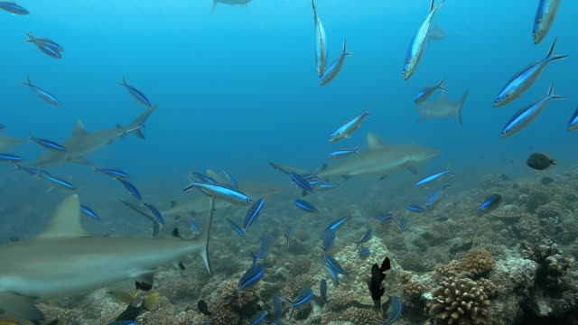Blue Fusilier fish with sharks in the Pacific Ocean. Underwater life with fishes and sharks swimming near coral reef in the Ocean. Diving in the clear water - 4K