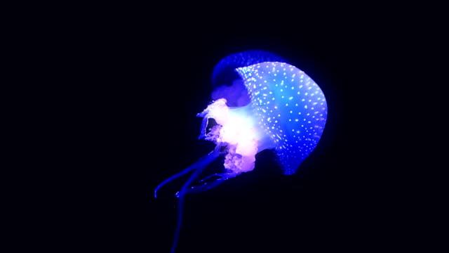 vídeos y material grabado en eventos de stock de azul brillante medusa caminando en el agua azul oscuro. - organismo vivo